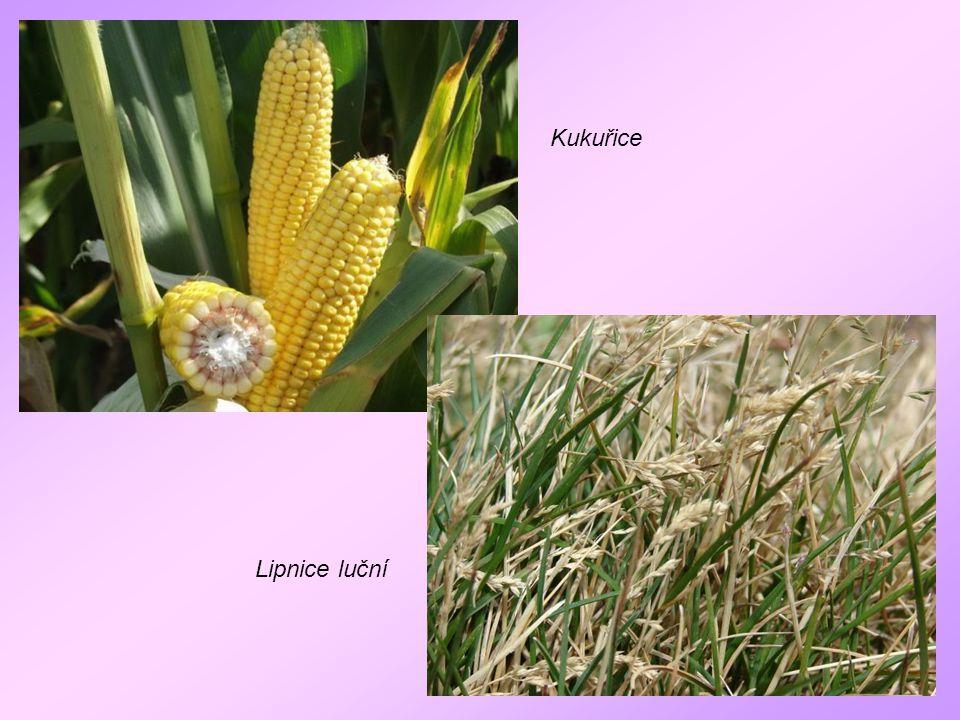 Kukuřice Lipnice luční