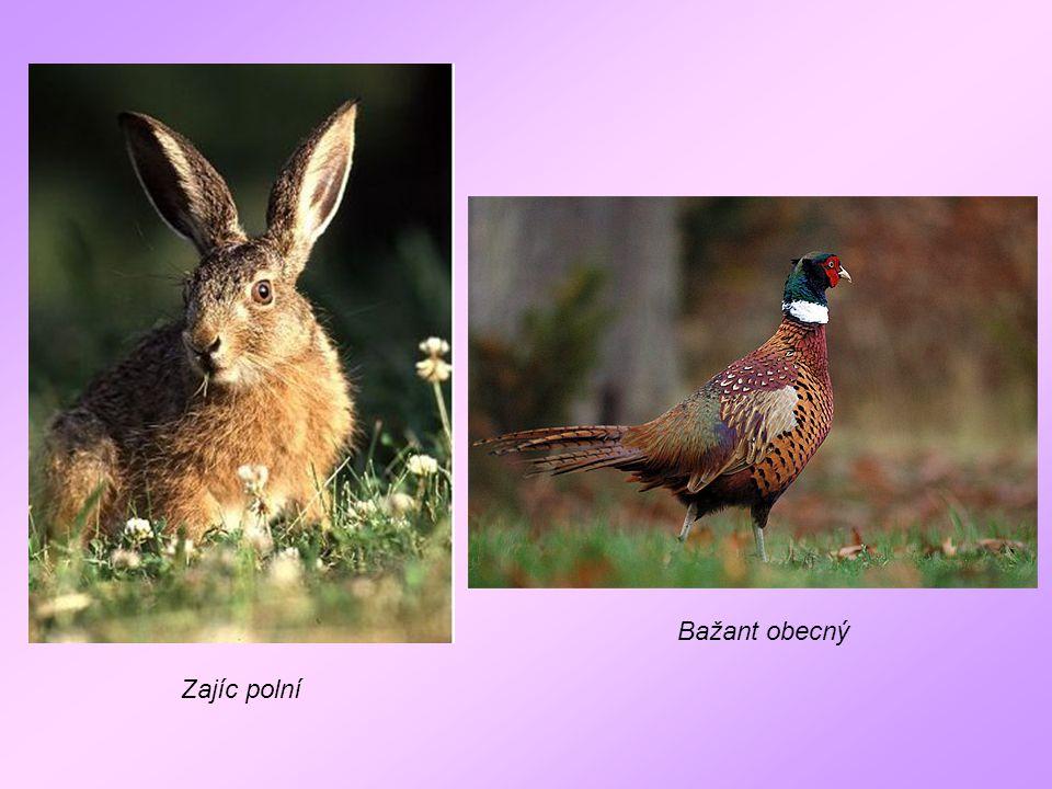 Bažant obecný Zajíc polní
