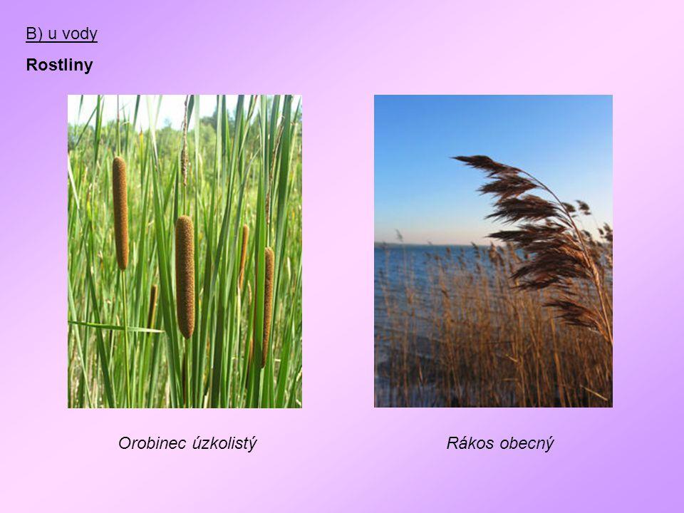 B) u vody Rostliny Orobinec úzkolistý Rákos obecný