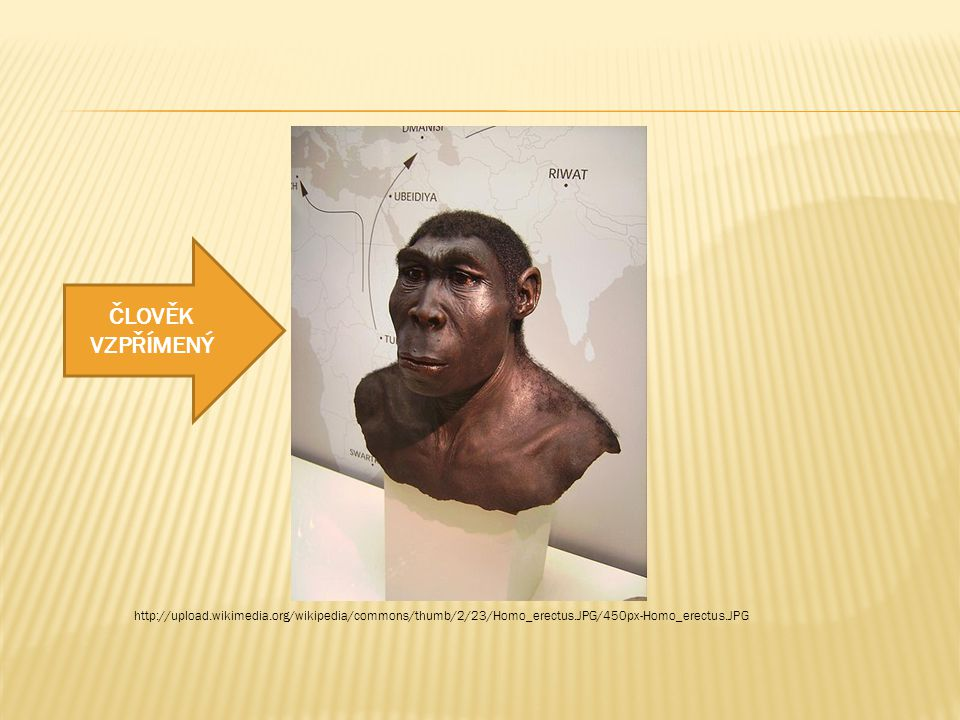 ČLOVĚK VZPŘÍMENÝ http://upload.wikimedia.org/wikipedia/commons/thumb/2/23/Homo_erectus.JPG/450px-Homo_erectus.JPG.