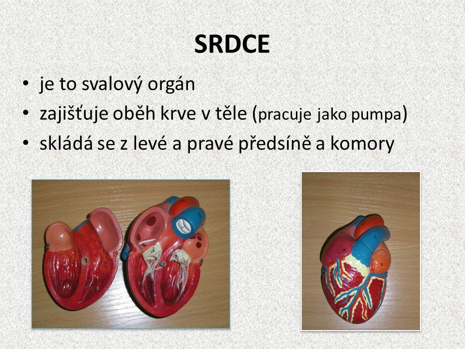 SRDCE je to svalový orgán