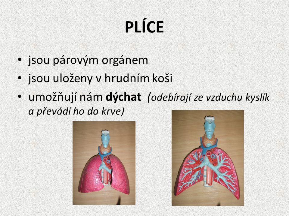 PLÍCE jsou párovým orgánem jsou uloženy v hrudním koši
