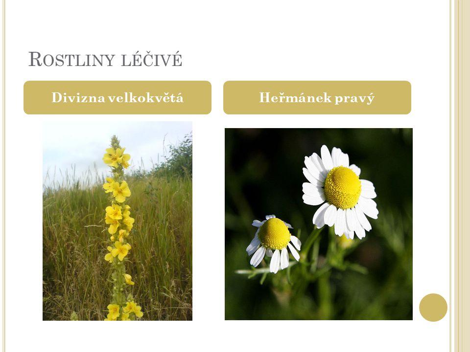 Rostliny léčivé Divizna velkokvětá Heřmánek pravý