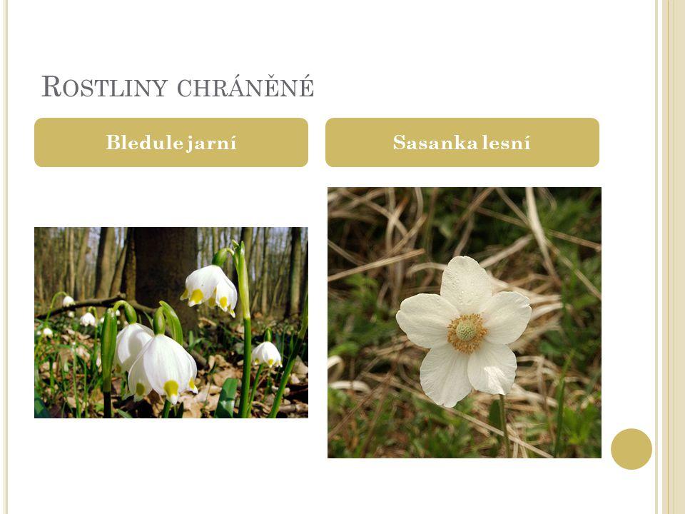 Rostliny chráněné Bledule jarní Sasanka lesní