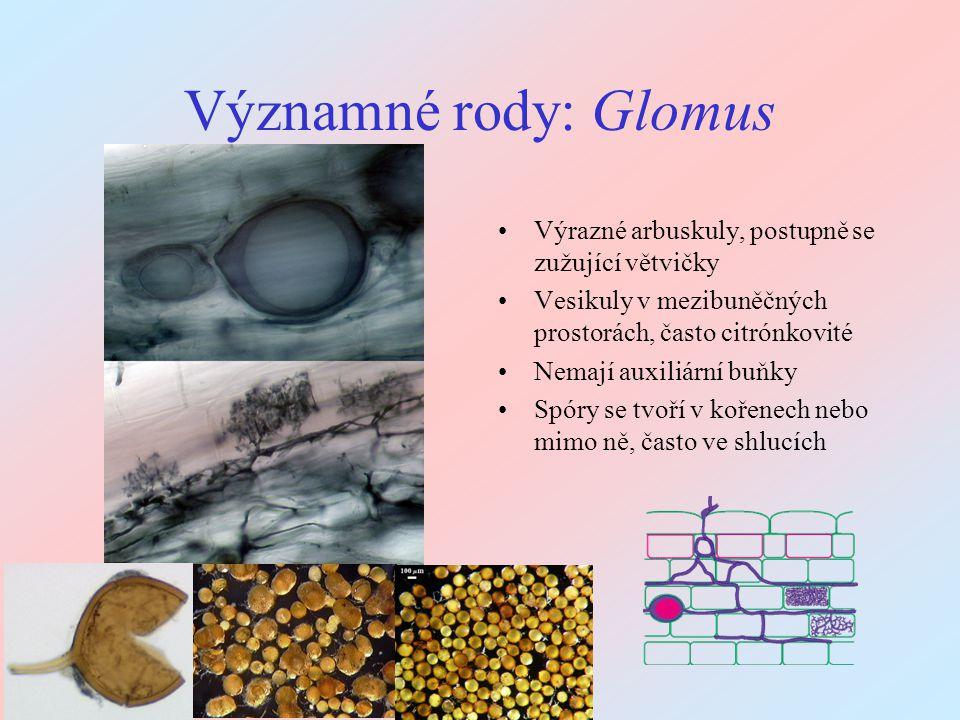Významné rody: Glomus Výrazné arbuskuly, postupně se zužující větvičky
