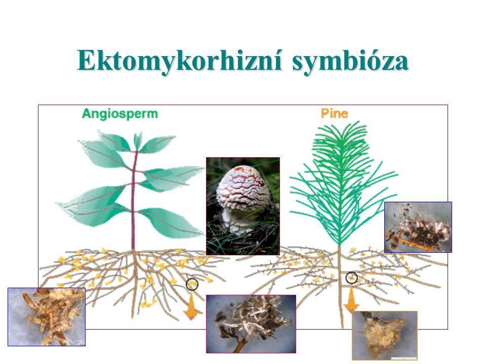 Ektomykorhizní symbióza