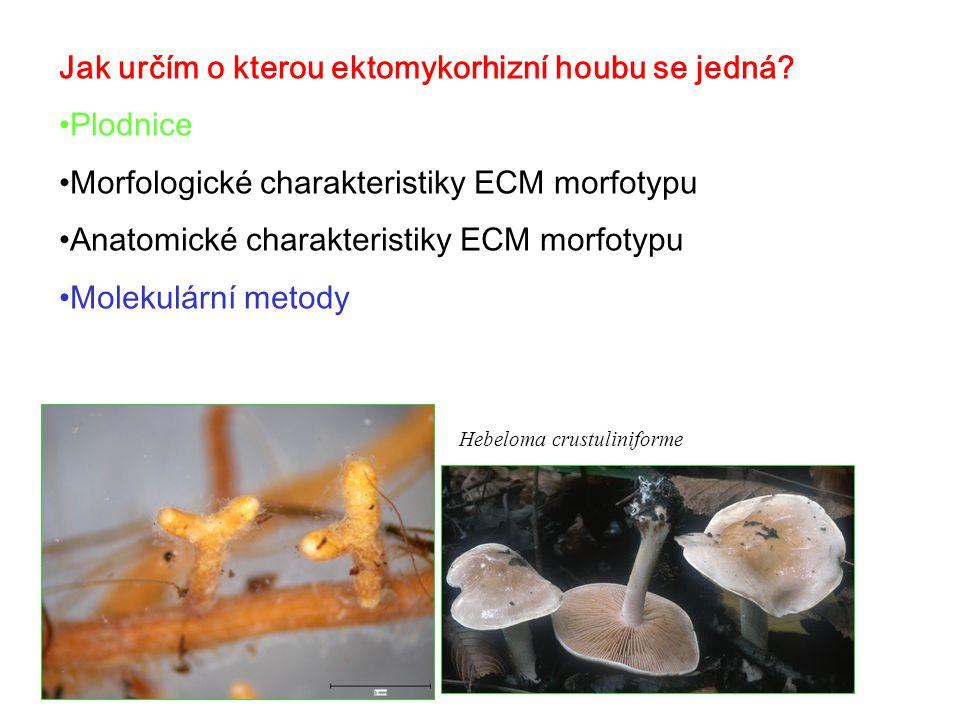 Jak určím o kterou ektomykorhizní houbu se jedná Plodnice