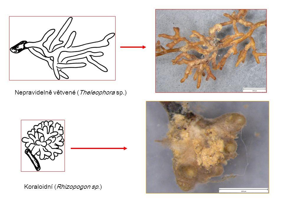 Nepravidelně větvené (Theleophora sp.)