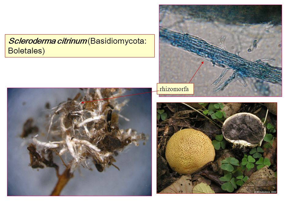 Scleroderma citrinum (Basidiomycota: Boletales)