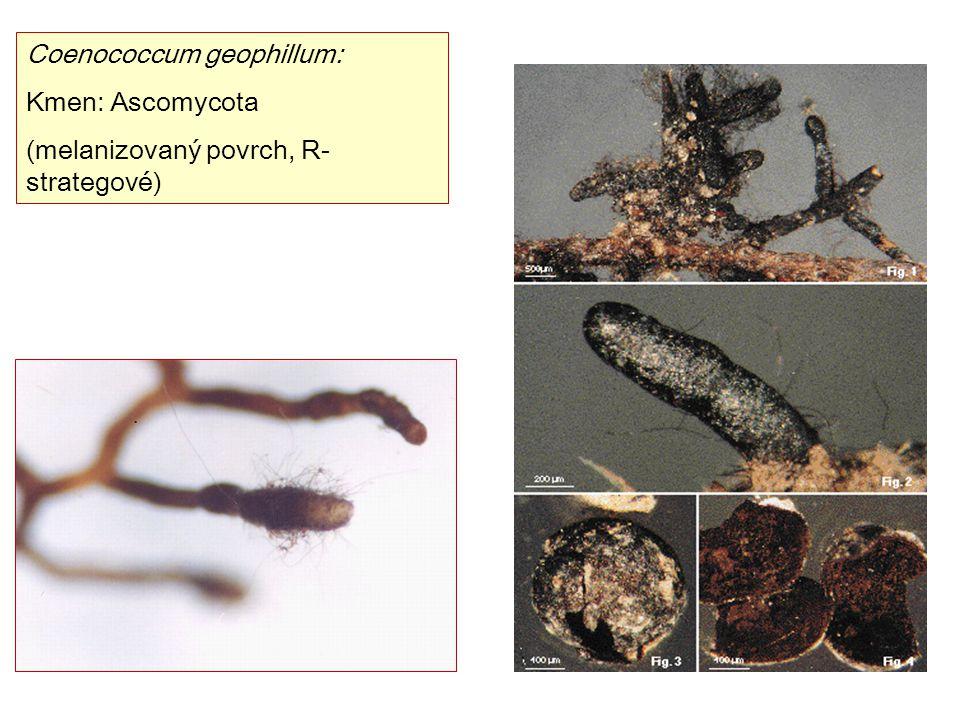 Coenococcum geophillum: