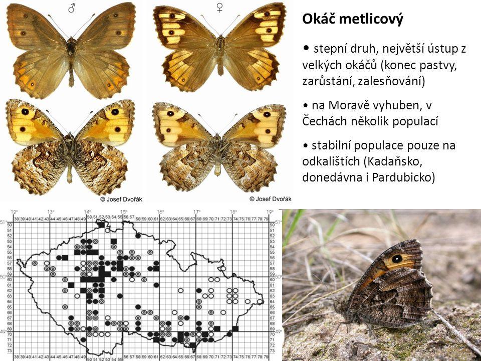 Okáč metlicový stepní druh, největší ústup z velkých okáčů (konec pastvy, zarůstání, zalesňování) na Moravě vyhuben, v Čechách několik populací.