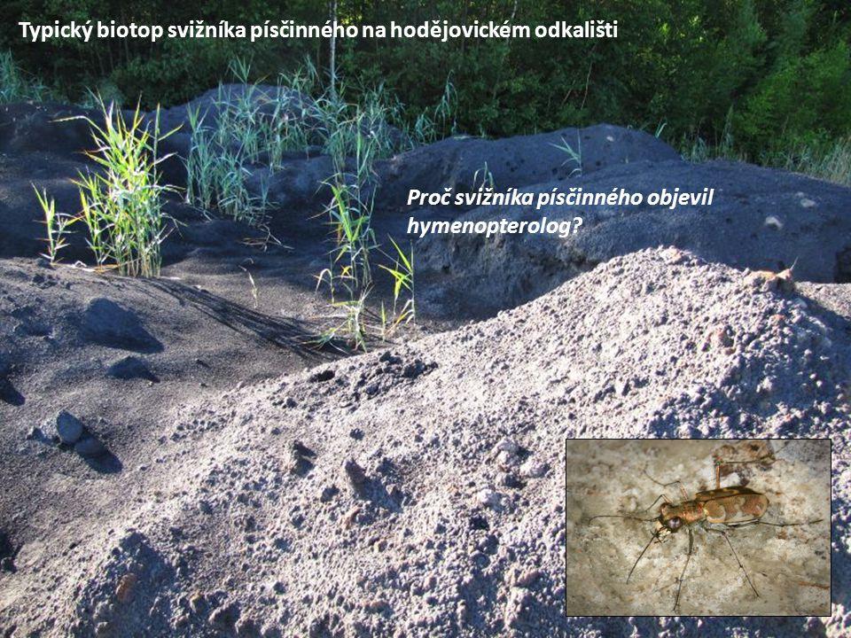Typický biotop svižníka písčinného na hodějovickém odkališti