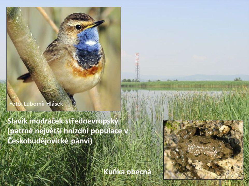 Foto: Lubomír Hlásek Slavík modráček středoevropský (patrně největší hnízdní populace v Českobudějovické pánvi)