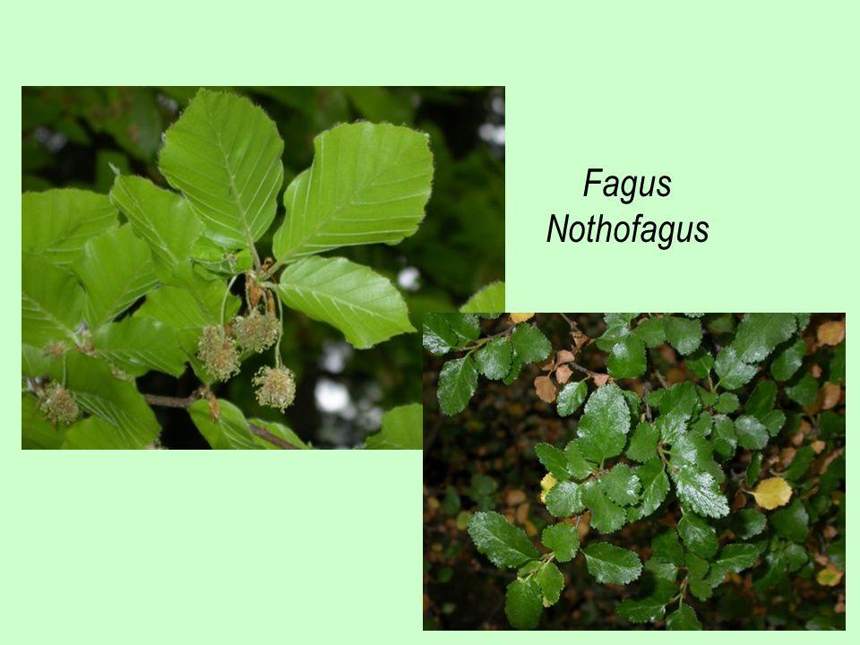 Fagus Nothofagus