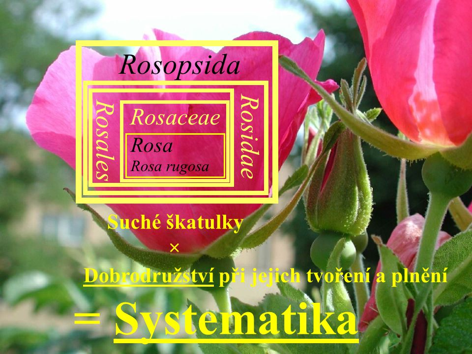 = Systematika Rosopsida Rosidae Rosales Rosaceae Rosa Suché škatulky ×