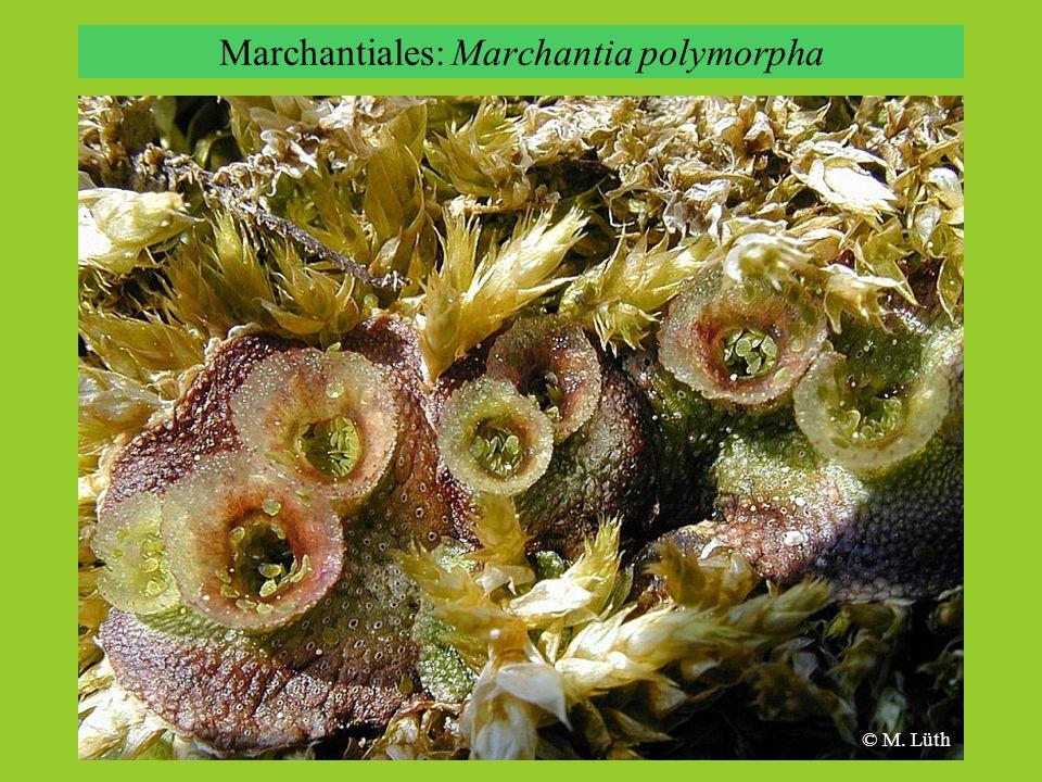 Marchantiales: Marchantia polymorpha