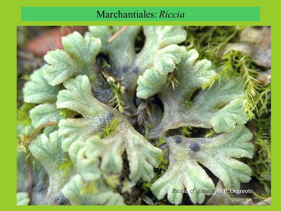 Marchantiales: Riccia