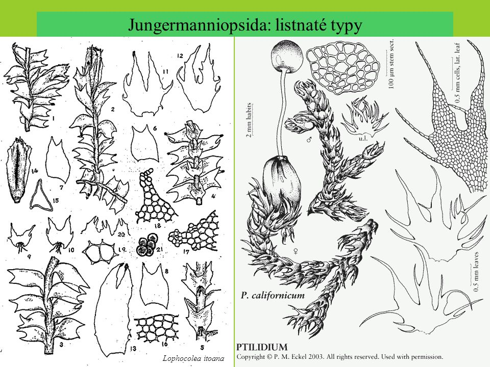 Jungermanniopsida: listnaté typy