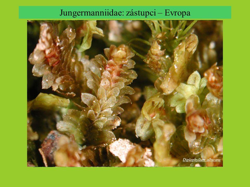 Jungermanniidae: zástupci – Evropa