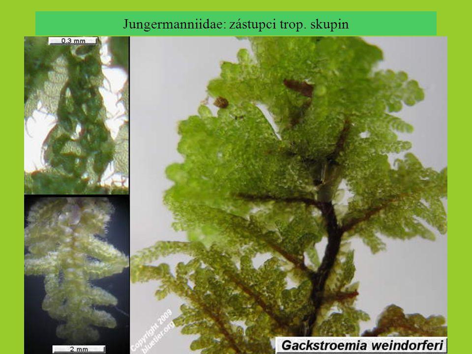 Jungermanniidae: zástupci trop. skupin