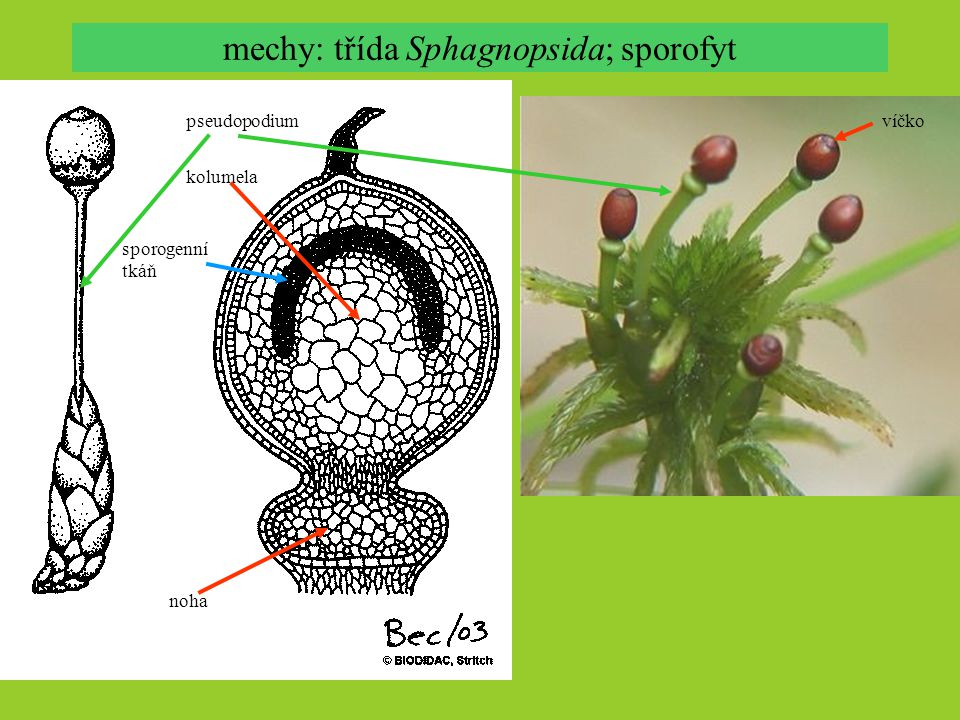 mechy: třída Sphagnopsida; sporofyt
