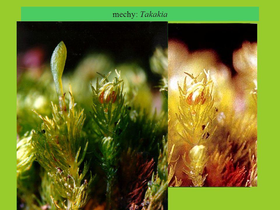 mechy: Takakia