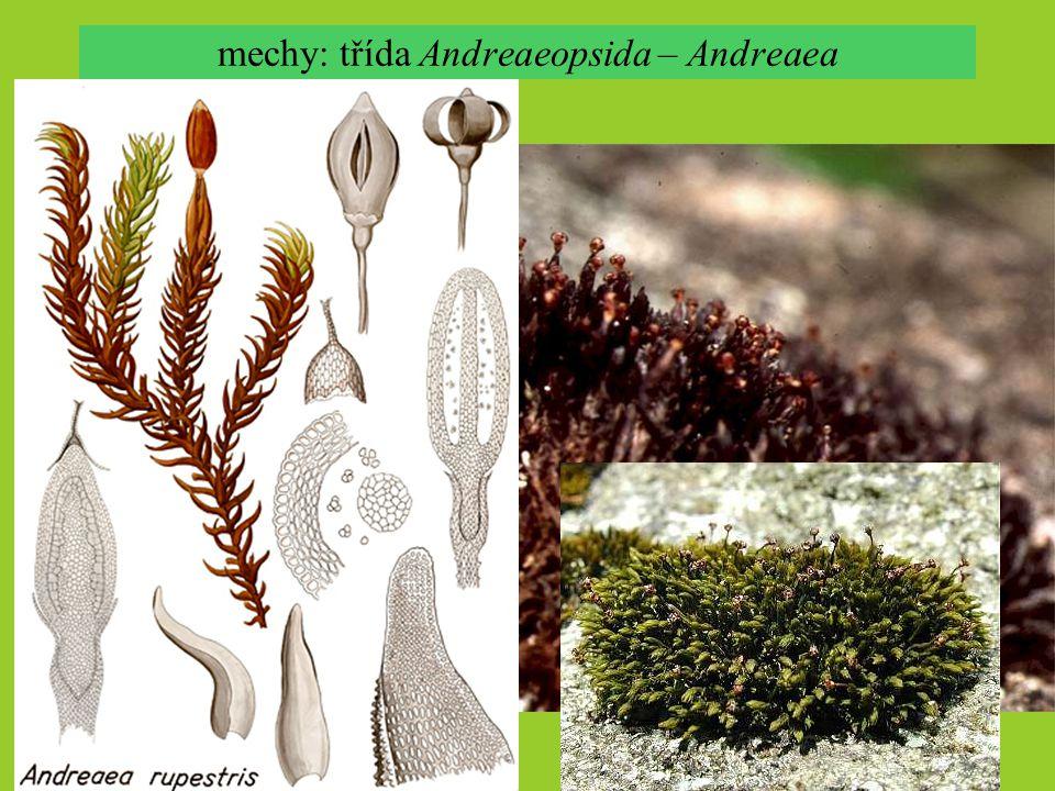 mechy: třída Andreaeopsida – Andreaea