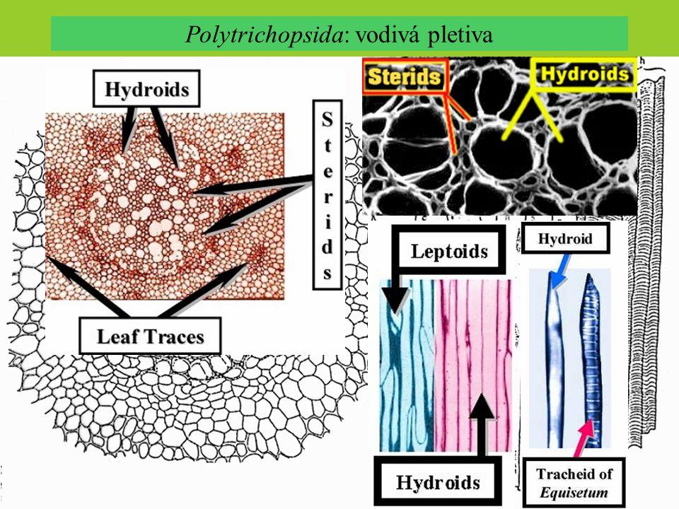 Polytrichopsida: vodivá pletiva