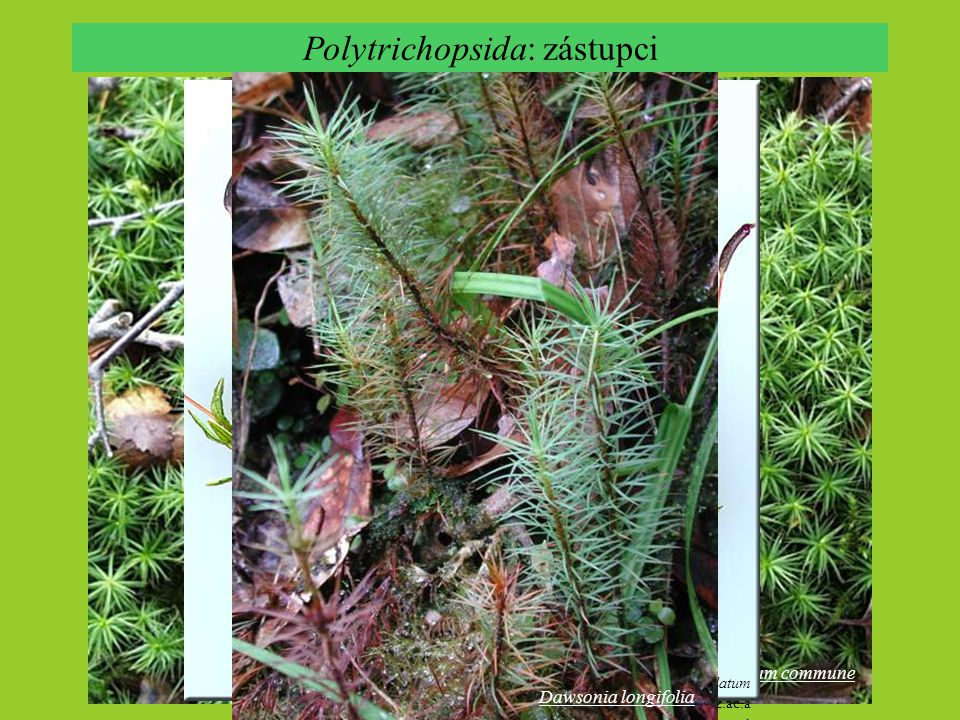Polytrichopsida: zástupci