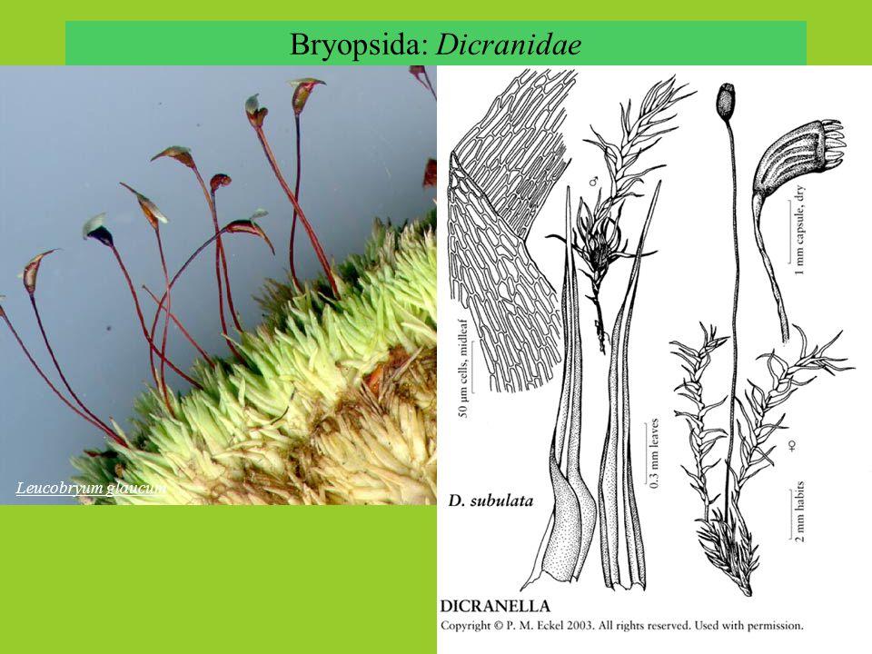 Bryopsida: Dicranidae
