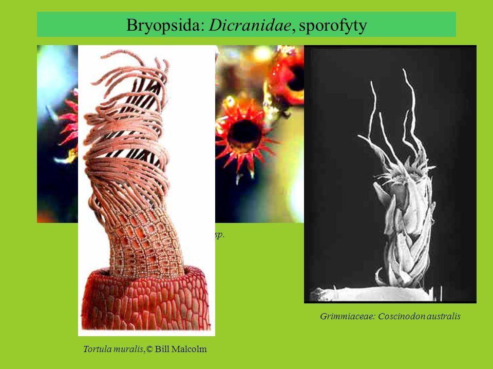 Bryopsida: Dicranidae, sporofyty