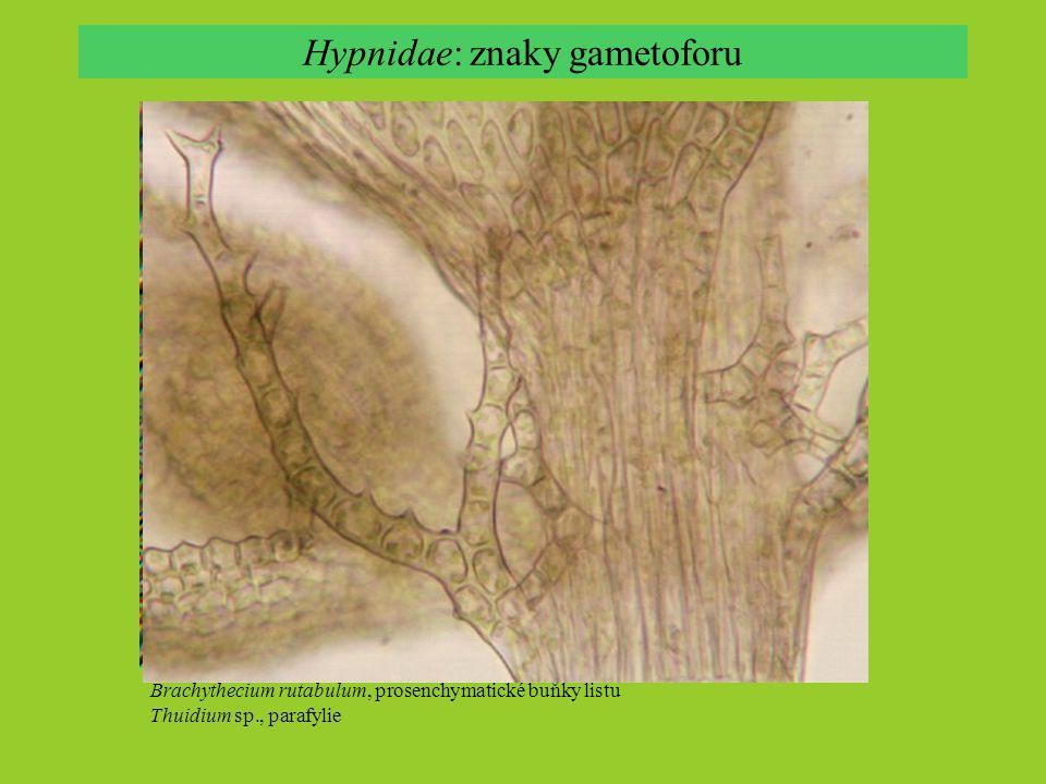 Hypnidae: znaky gametoforu