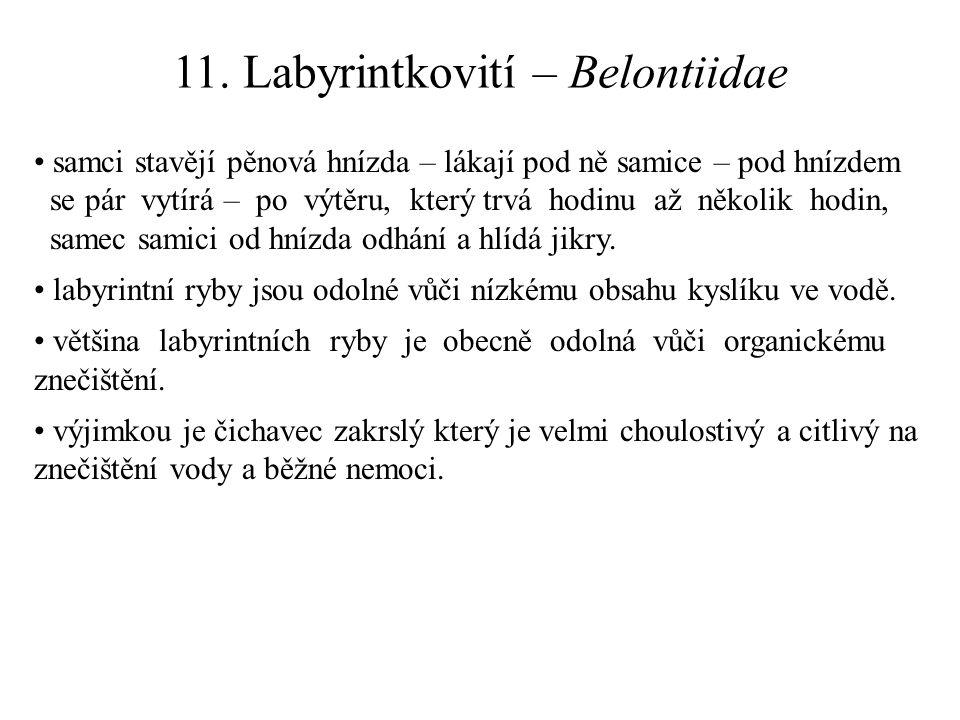 11. Labyrintkovití – Belontiidae