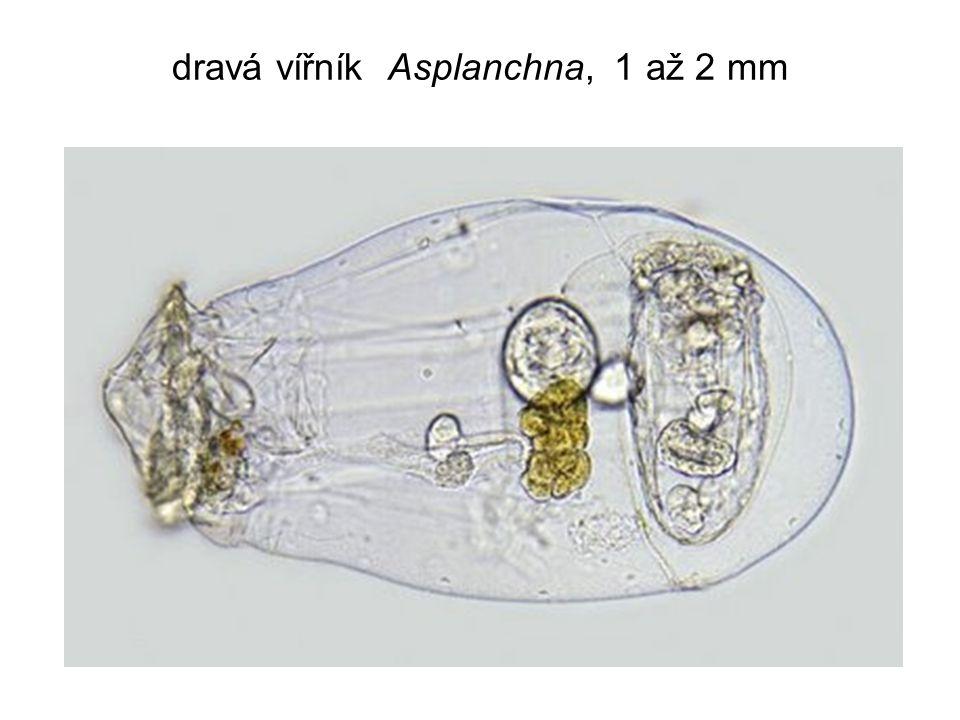 dravá vířník Asplanchna, 1 až 2 mm