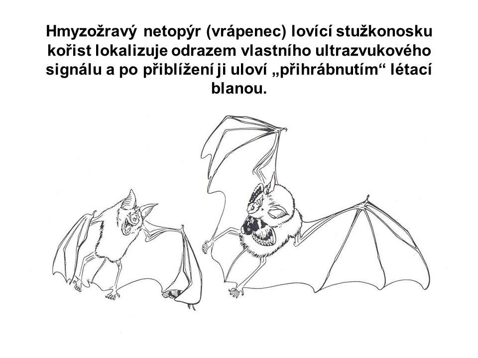 """Hmyzožravý netopýr (vrápenec) lovící stužkonosku kořist lokalizuje odrazem vlastního ultrazvukového signálu a po přiblížení ji uloví """"přihrábnutím létací blanou."""