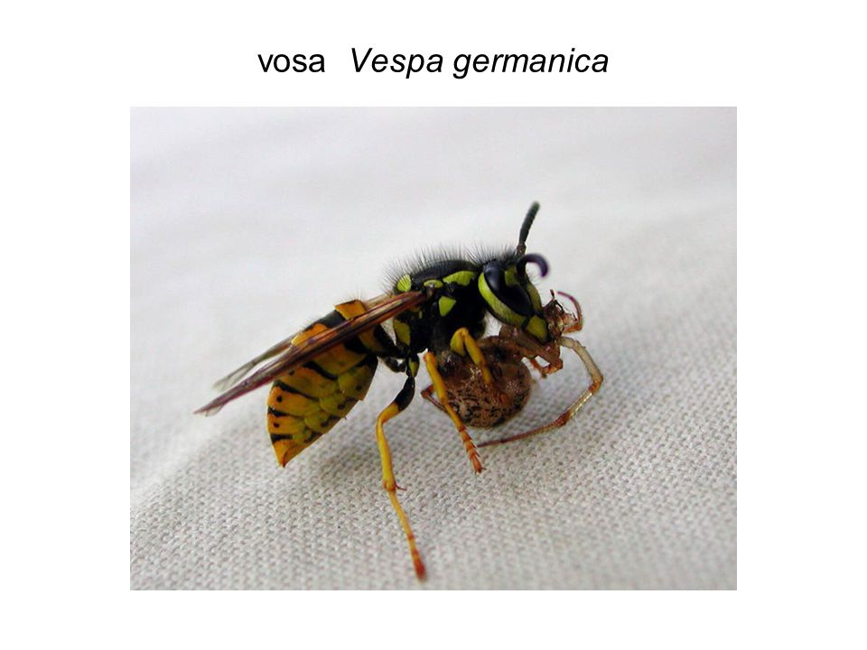 vosa Vespa germanica