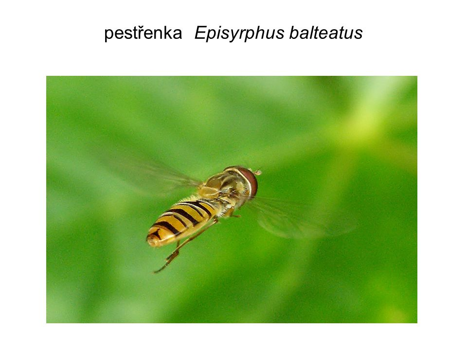 pestřenka Episyrphus balteatus