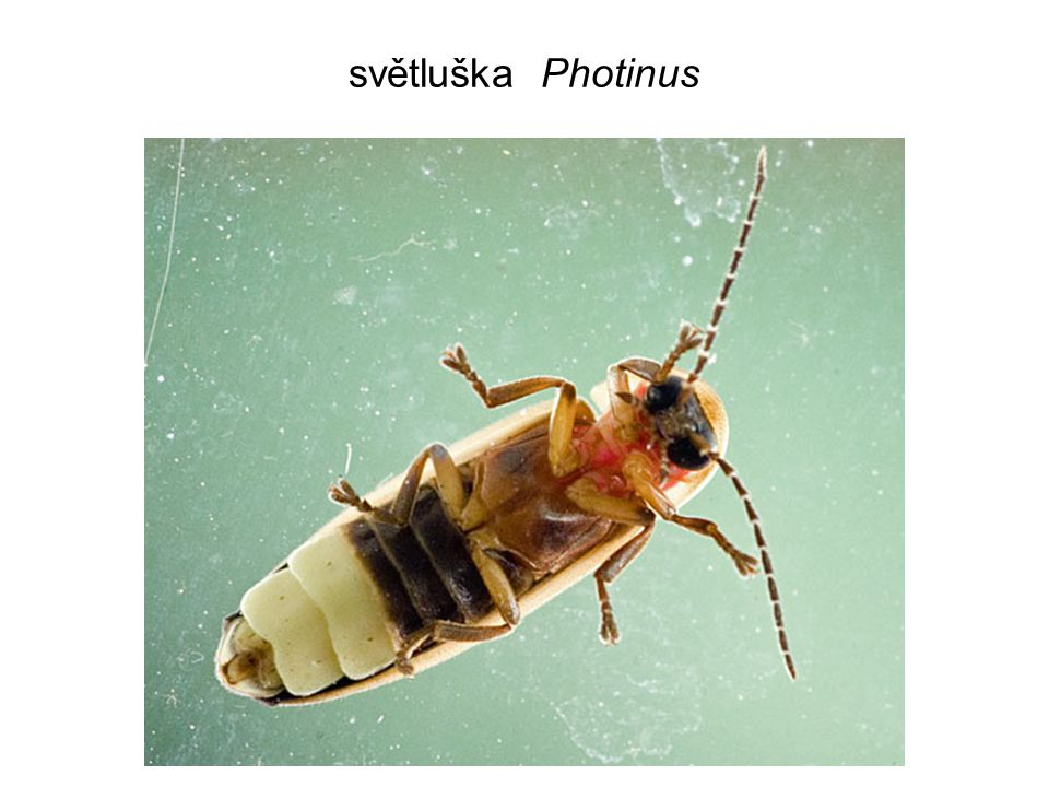 světluška Photinus