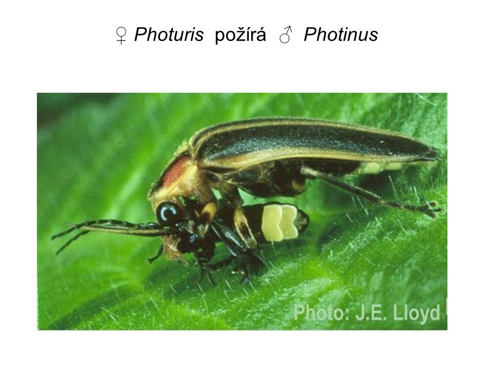 ♀ Photuris požírá ♂ Photinus