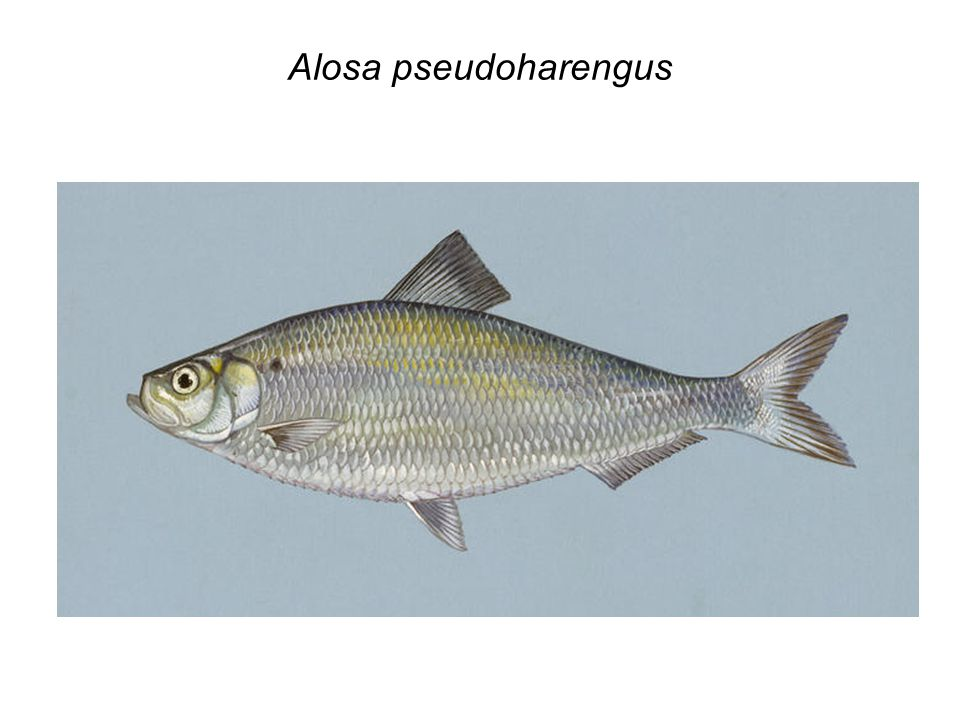 Alosa pseudoharengus
