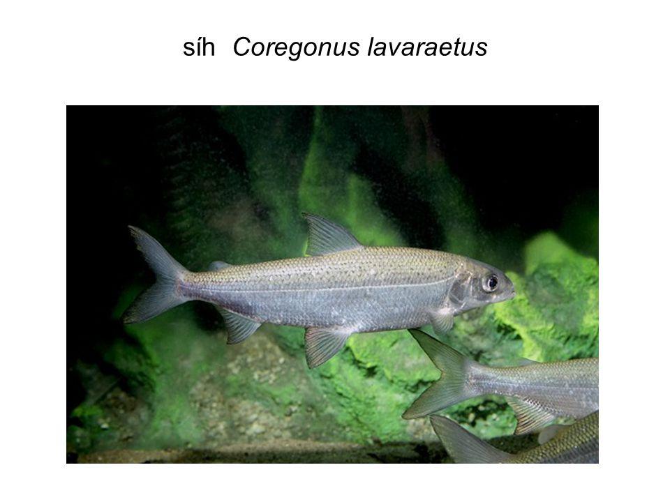 síh Coregonus lavaraetus