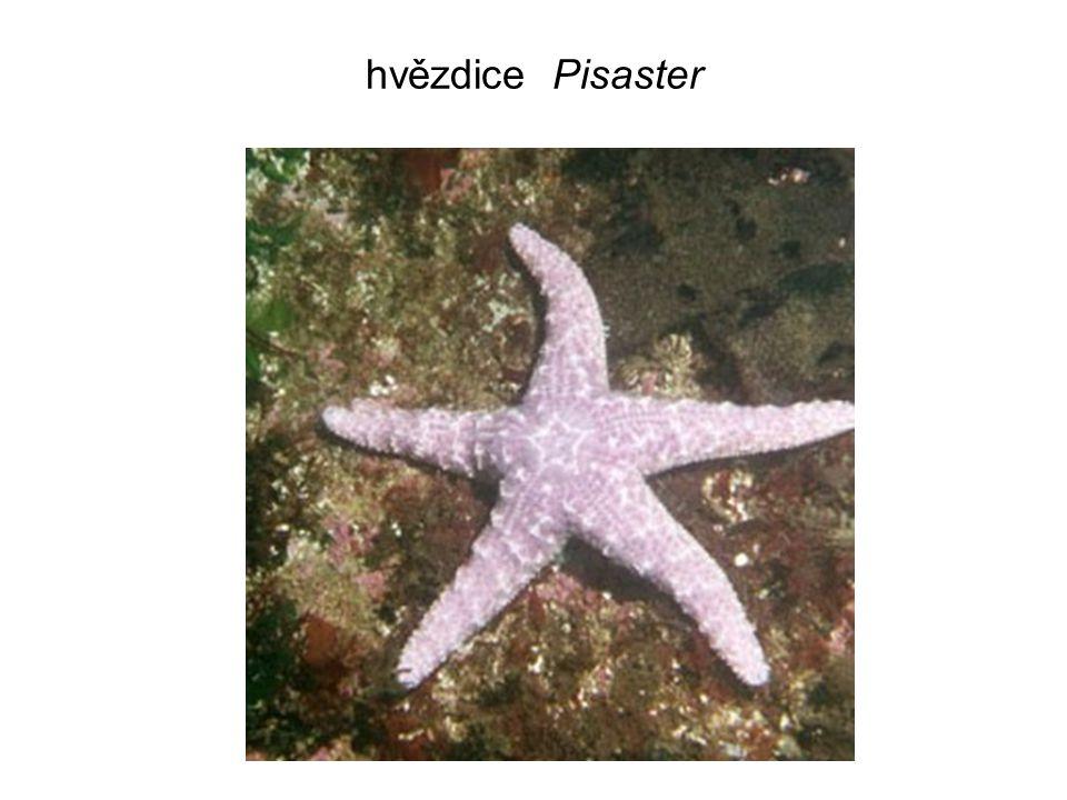 hvězdice Pisaster