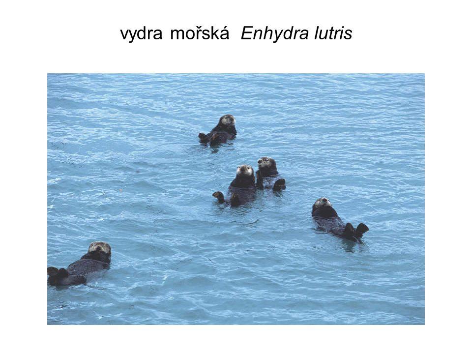 vydra mořská Enhydra lutris
