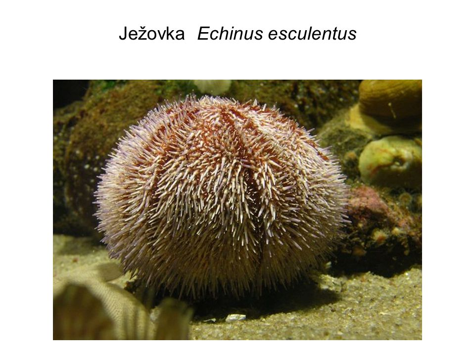 Ježovka Echinus esculentus