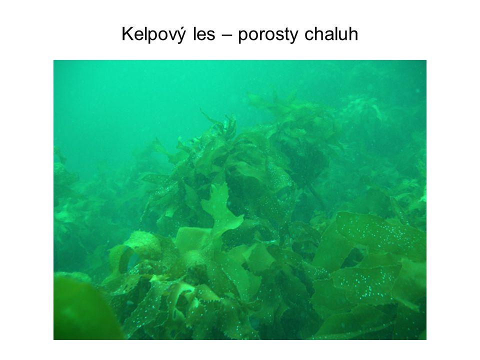Kelpový les – porosty chaluh
