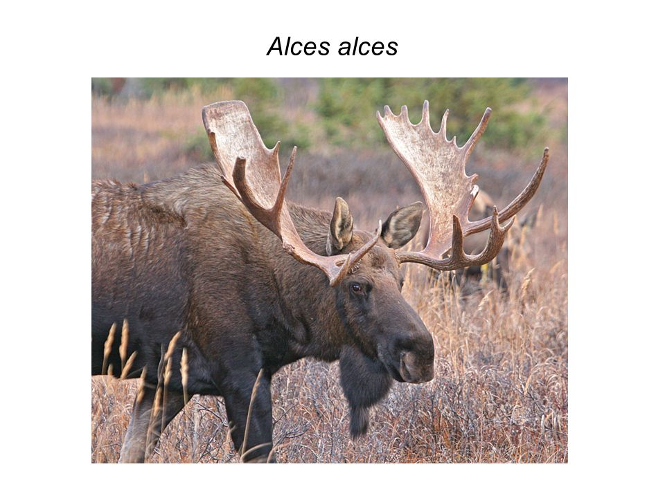 Alces alces