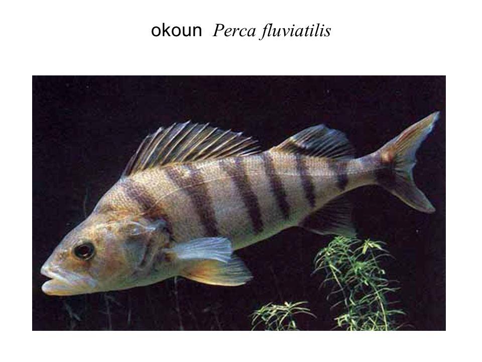 okoun Perca fluviatilis