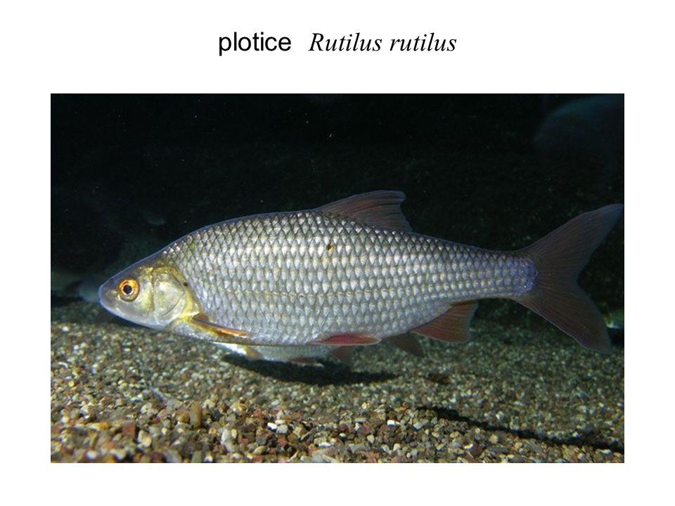 plotice Rutilus rutilus