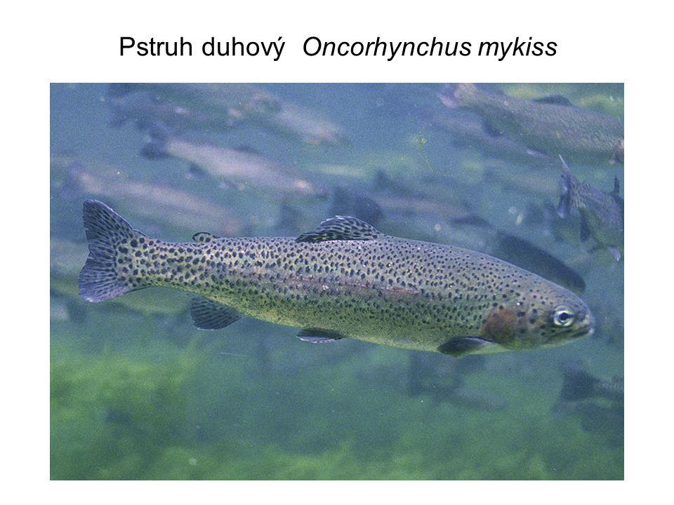 Pstruh duhový Oncorhynchus mykiss
