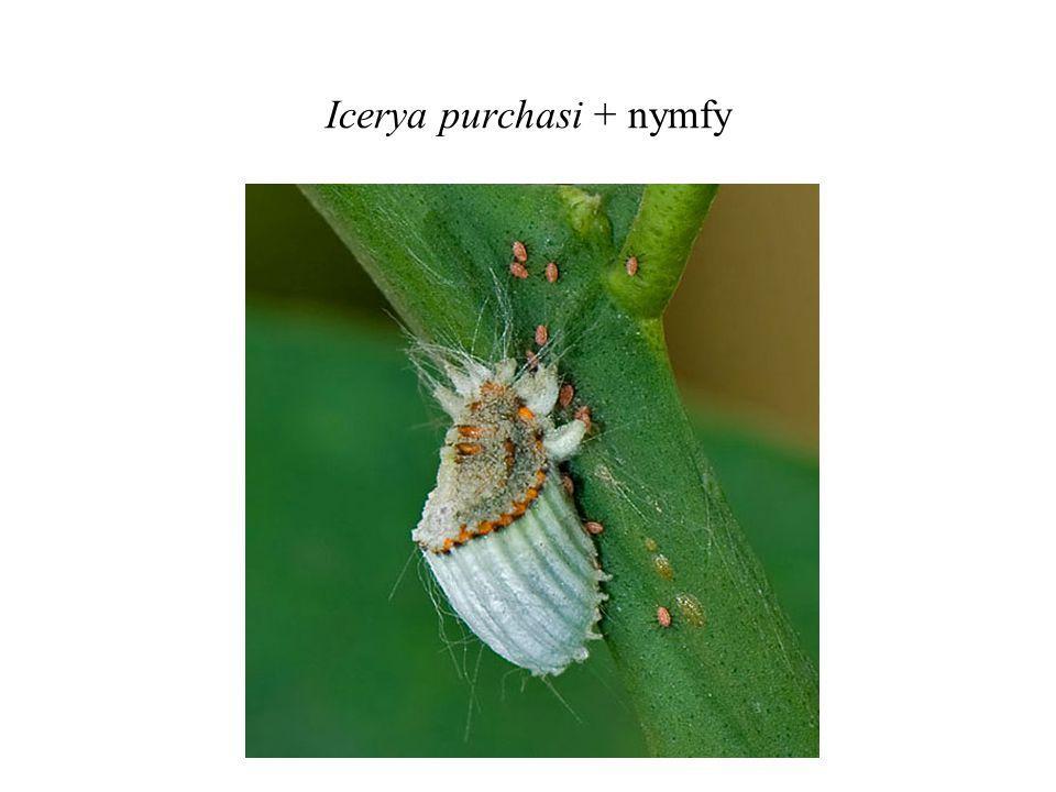 Icerya purchasi + nymfy